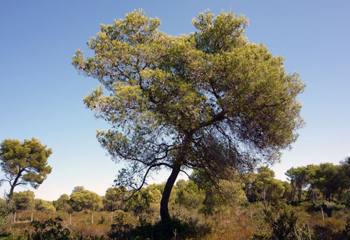 pinus_halepensis (FILEminimizer)