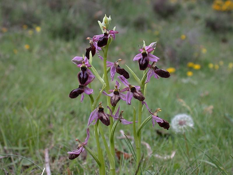Ophrys catalaunica